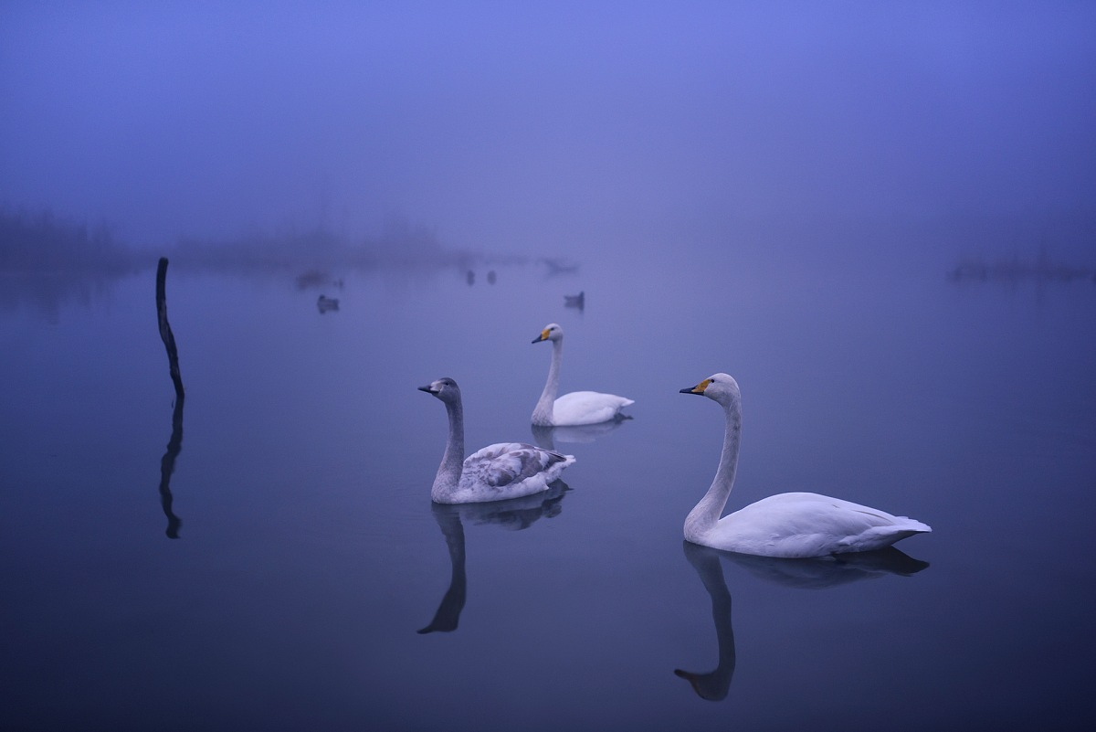 Whooper Swan (Cygnus Cygnus). © Massimiliano Sticca.