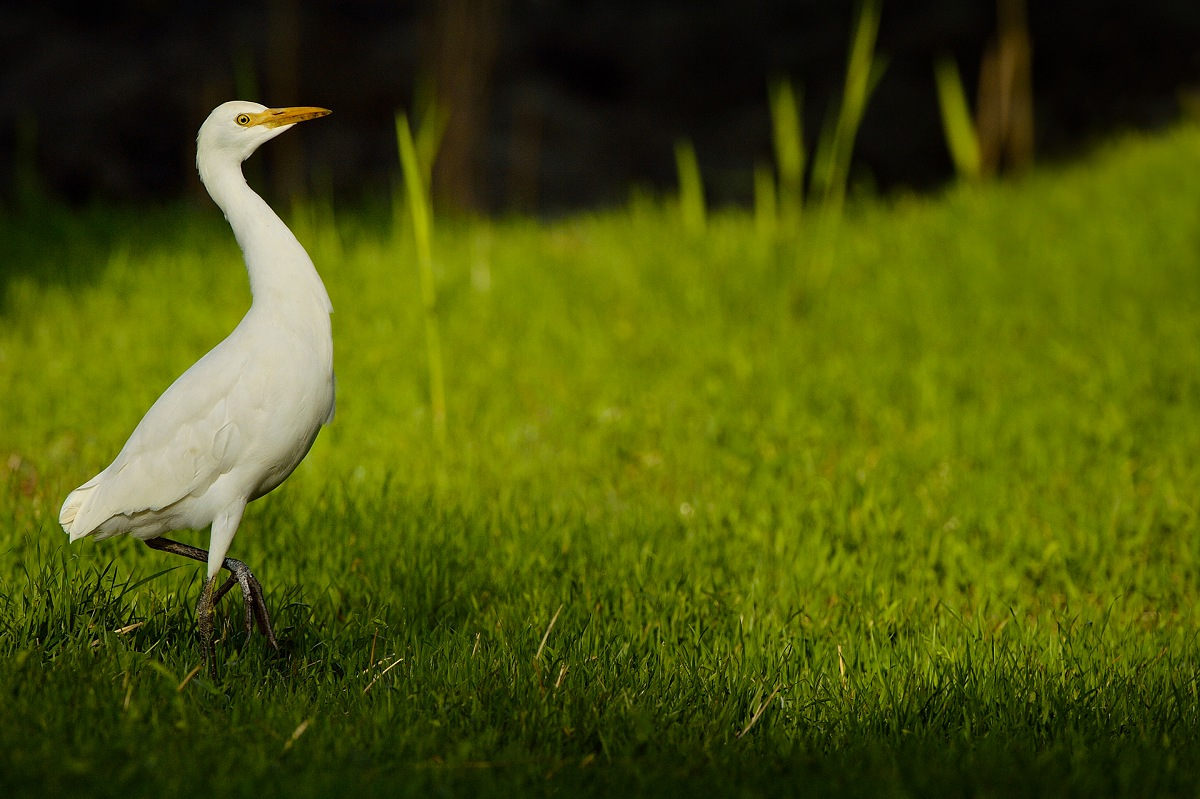 Cattle Egret (Bubulcus Ibis). © Massimiliano Sticca.