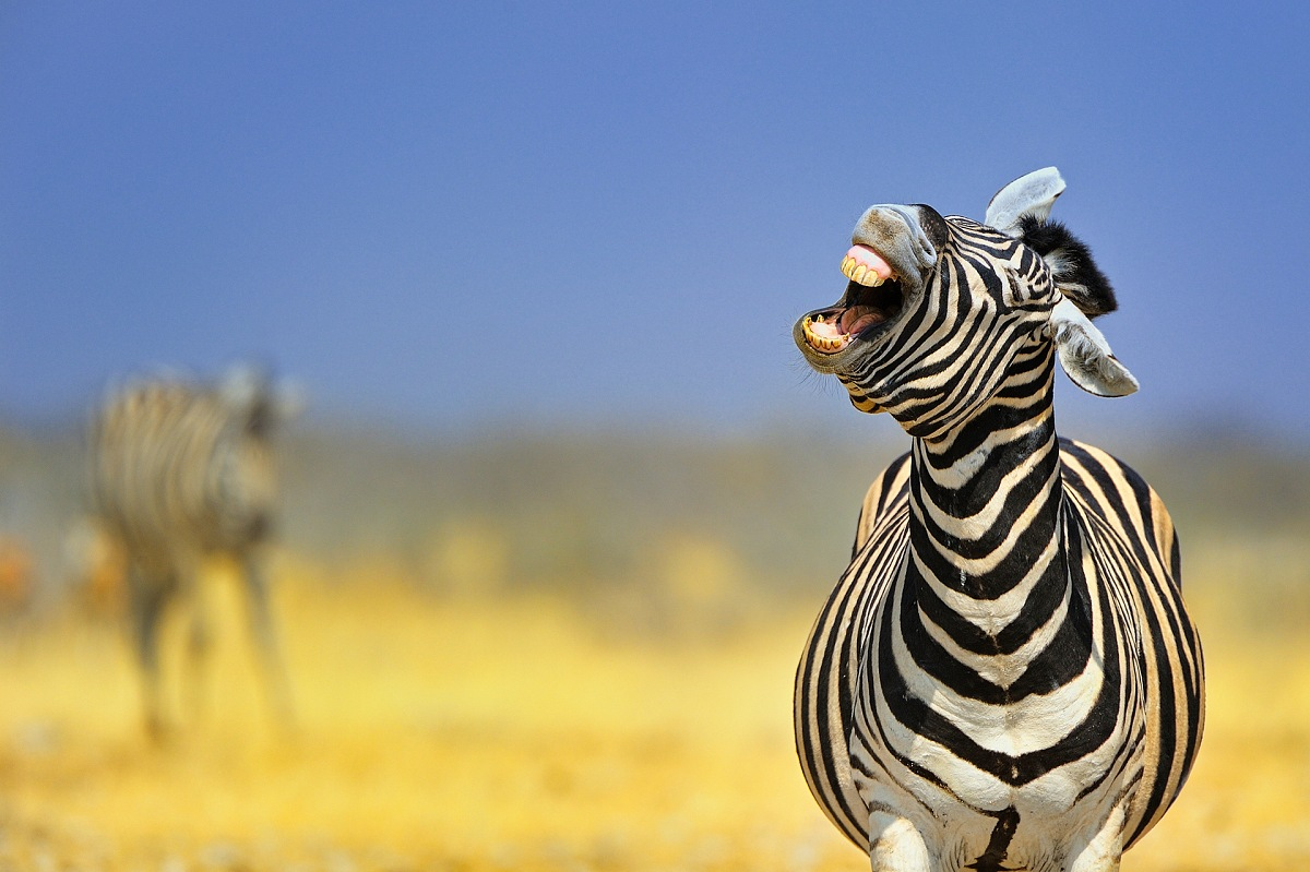 Plains Zebra (Equus Quagga). © Massimiliano Sticca.