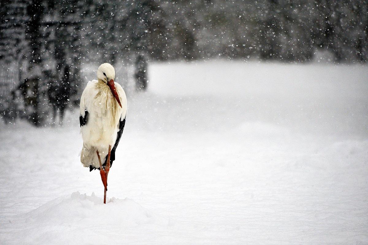 White Stork (Ciconia Ciconia). © Massimiliano Sticca.