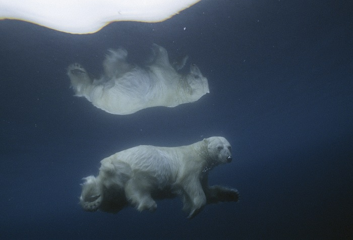 Its image mirrored in icy water, a polar bear swims submerged, dalla mostra Sous les glaces, s'éteignent les espèces di Paul Nicklen. © Paul Nicklen/National Geographic Creative.