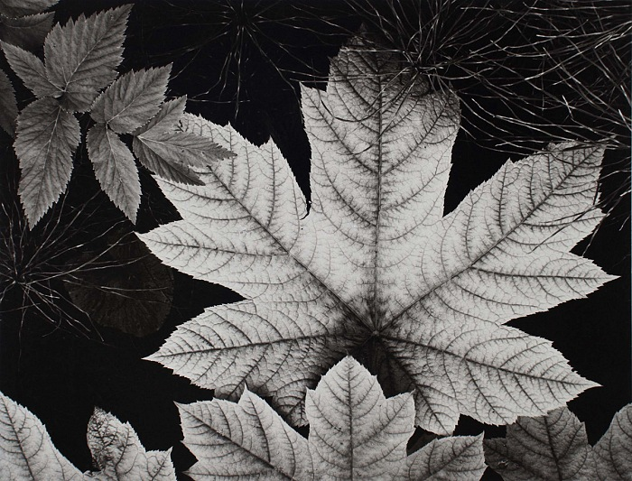 Ansel Adams, Leaves, Alaska, 1948. © credit stamp Adams Gallery authentication. Courtesy Photographica Fine Art Gallery