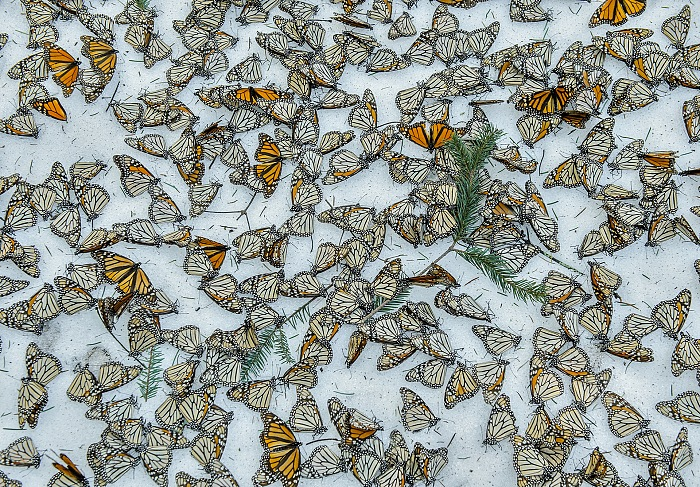 Jaime Rojo, Monarchs In The Snow, Nature - Third Prize, Singles 2016. Courtesy Galleria Carla Sozzani, Milan