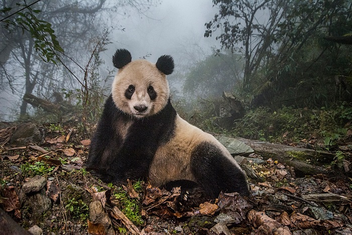 Ami Vitale, for National Geographic Magazine, Pandas Gone Wild, Nature - Second Prize, Stories 2016. Courtesy Galleria Carla Sozzani, Milan