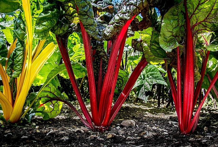 Sally Ann Stone, Swiss Chard Forset, vincitrice categoria Food in the field. © Sally Ann Stone.