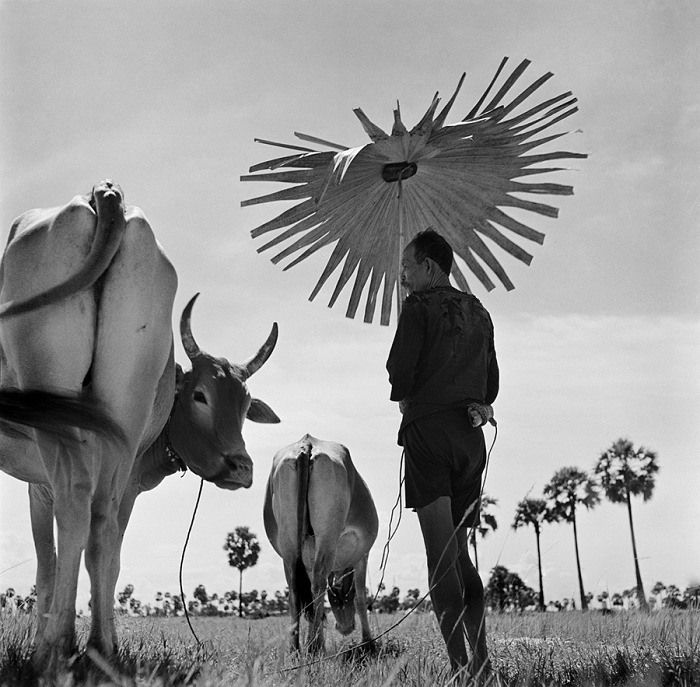 Werner Bischof, Farmer shading himself as he looks after his grazing cows, Cambodia, 1952. © Werner Bischof/Magnum Photos