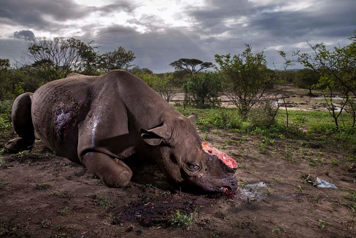 Brent Stirton, Memorial to a species. © Brent Stirton - Wildlife Photographer of the Year 2017