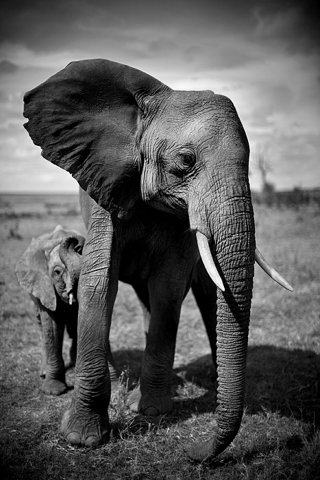 Christian Cravo, Elephant and Calf, Kenya 2011. © Christian Cravo