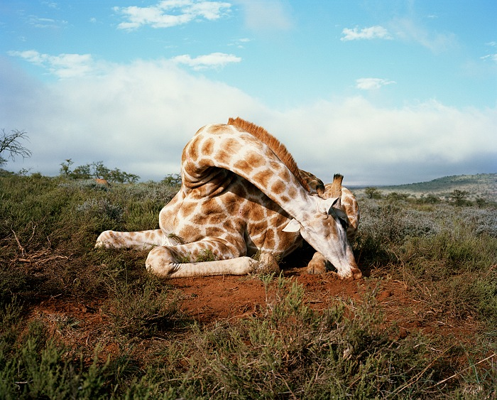 David Chancellor, Fallen giraffe, Somerset East, Eastern Cape, South Africa. Dalla serie Hunters. © David Chancellor