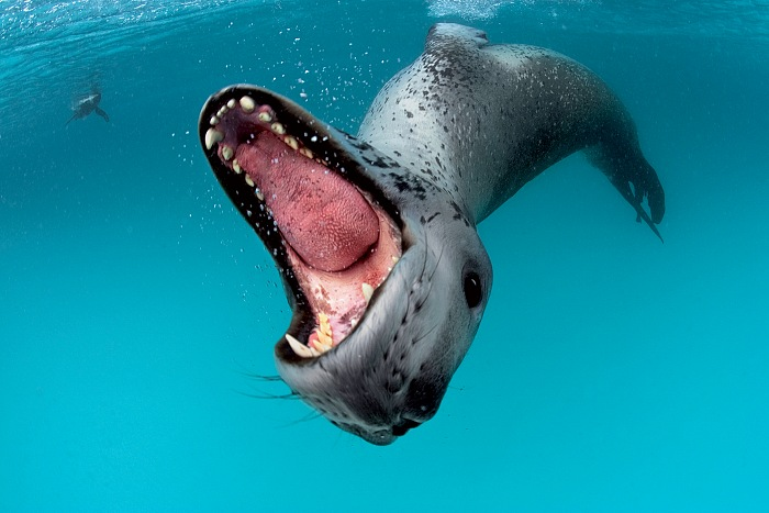 A leopard seal bares teeth in a threat display to protect her kill, from the exhibition Sous les glaces, s'éteignent les espèces by Paul Nicklen. © Paul Nicklen/National Geographic Creative.