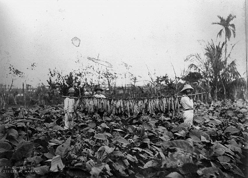 Samuel A. Cohner, Contadini durante il raccolto delle foglie di tabacco, 1890 circa.